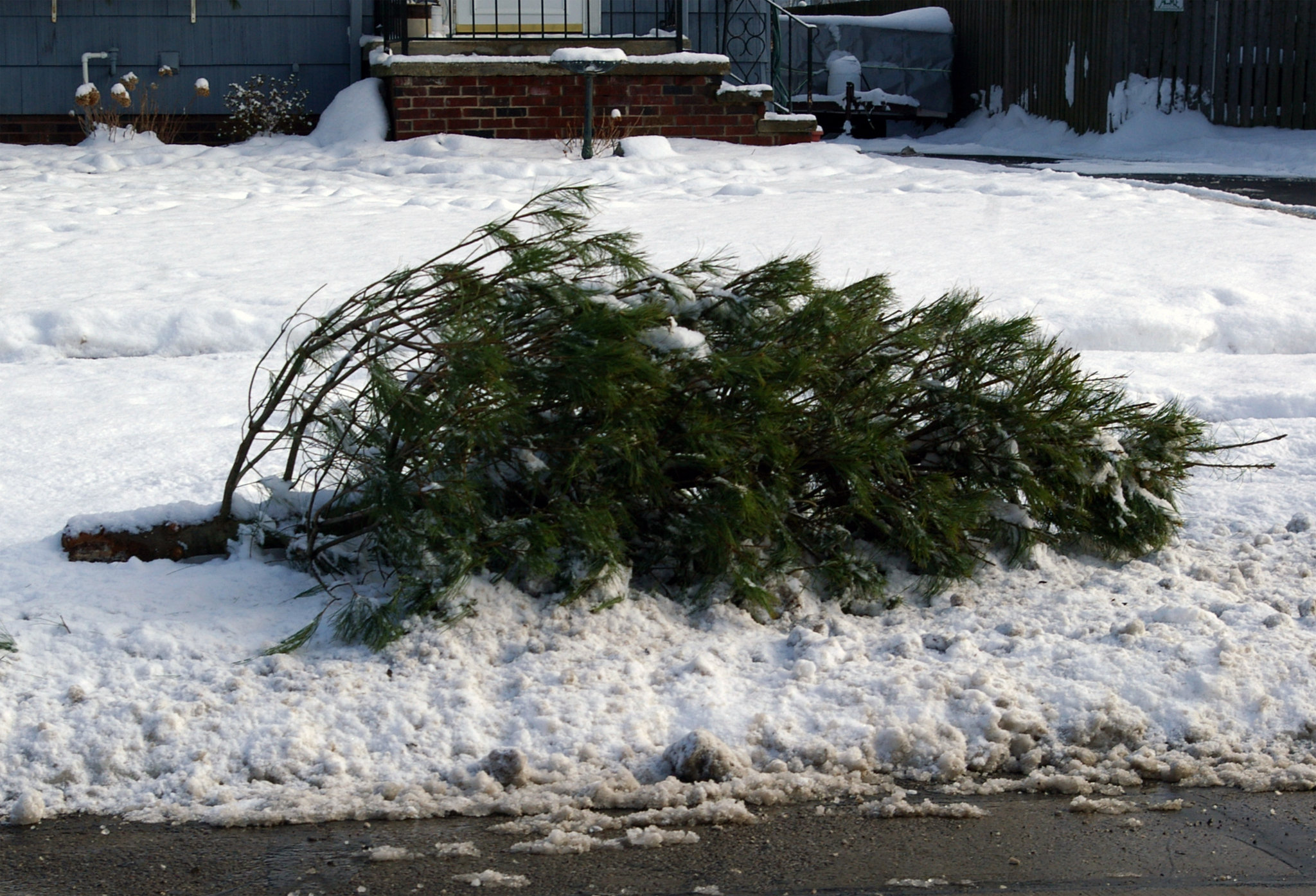 City Will Pick Up Discarded Live Christmas Trees No Waste